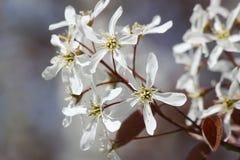 Flores blancas de la primavera. Serviceberry (Amelanchier) Foto de archivo libre de regalías