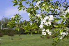 Flores blancas de la primavera de un Apple-árbol en un primer del parque Fotografía de archivo