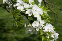 Flores blancas de la primavera de un Apple-árbol en un primer del parque Fotografía de archivo libre de regalías
