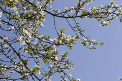 Flores blancas de la primavera de un Apple-árbol en un primer del parque Imagen de archivo libre de regalías