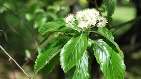 Flores blancas de la primavera y hojas verdes del árbol de Whitebeam en el viento moderado, 4K almacen de metraje de vídeo