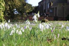 Flores blancas de la primera primavera en día soleado Imagen de archivo