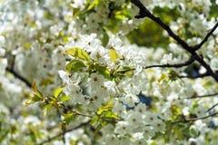 Flores blancas de la rama del cerezo en primavera foto de archivo