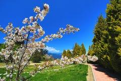 Flores blancas de las flores de cerezo con el cielo azul Foto de archivo libre de regalías
