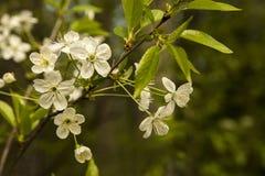 Flores blancas de las flores de cerezo en un día de primavera Imagenes de archivo