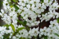Flores blancas de las flores de cerezo en un día de primavera Foto de archivo libre de regalías