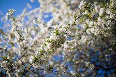 Flores blancas de las flores de cerezo en un día de primavera en el jardín Imágenes de archivo libres de regalías