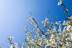 Flores blancas de las flores de cerezo en un día de primavera en el jardín Fotografía de archivo libre de regalías