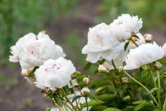 Flores blancas de las peonías Foto de archivo libre de regalías
