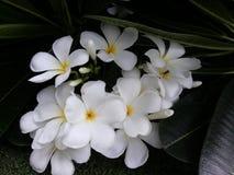 Flores blancas de Leelawadee Fotos de archivo libres de regalías