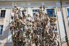 Flores blancas de los flores en un día de primavera en el jardín Foto de archivo libre de regalías
