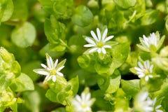 Flores blancas de los medios del Stellaria Imágenes de archivo libres de regalías