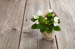 Flores blancas de los Saintpaulias en el empaquetado de papel Fotos de archivo libres de regalías