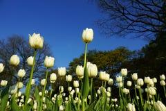 Flores blancas de los tulipanes Fotografía de archivo libre de regalías