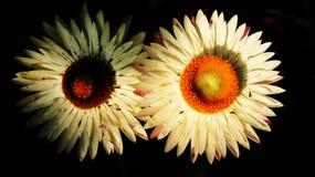 Flores blancas de margaritas en un fondo negro Fotografía de archivo