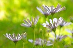 Flores blancas de Osteospermum fotografía de archivo libre de regalías