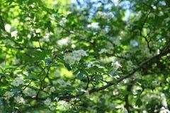 Flores blancas de polinización de la abeja del espino Foto de archivo libre de regalías
