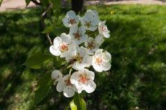 Flores blancas de polinización de la pera de la abeja de la miel Fotos de archivo libres de regalías