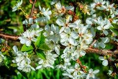 Flores blancas de un cerezo Imágenes de archivo libres de regalías