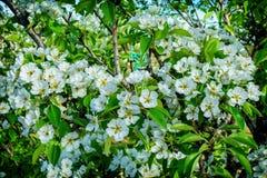 Flores blancas de un manzano Imagen de archivo