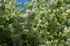 Flores blancas de un manzano Foto de archivo libre de regalías