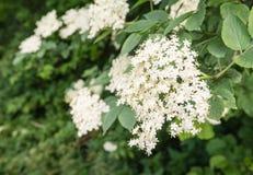 Flores blancas de una baya del saúco negra europea Fotos de archivo libres de regalías