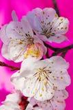 Flores blancas de una ramificación de un albaricoque en un color de rosa Fotografía de archivo libre de regalías