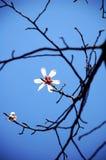 Flores blancas de Yulan en resorte Fotografía de archivo