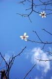 Flores blancas de Yulan en resorte Foto de archivo libre de regalías