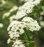 Flores blancas de ZhenZhuHua Fotografía de archivo libre de regalías