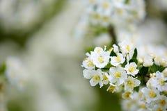 Flores blancas del árbol Fotos de archivo