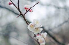 Flores blancas del árbol en primavera Apenas llovido encendido Foto de archivo libre de regalías