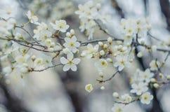 Flores blancas del árbol en primavera Apenas llovido encendido Imagen de archivo libre de regalías