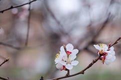 Flores blancas del árbol en primavera Apenas llovido encendido Imagen de archivo