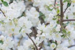 Flores blancas del abejorro y brotes de polinización del manzano del jardín Imagenes de archivo