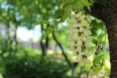 Flores blancas del acacia Imagen de archivo
