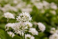 Flores blancas del ajo salvaje Fotos de archivo