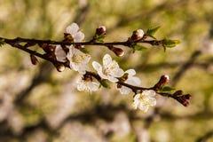 Flores blancas del albaricoquero Foto de archivo