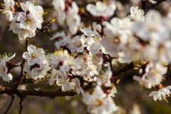 Flores blancas del albaricoquero Foto de archivo libre de regalías
