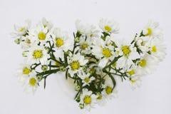 Flores blancas del aster aisladas en el fondo blanco foto de archivo libre de regalías