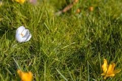 Flores blancas del azafrán en la floración, con el espacio de la copia foto de archivo