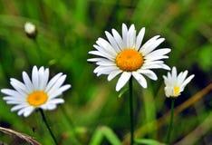 Flores blancas del bosque entre hierba verde imágenes de archivo libres de regalías
