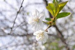 Flores blancas del cerezo Imagenes de archivo
