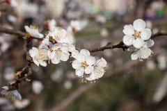 Flores blancas del cerezo Imagen de archivo libre de regalías
