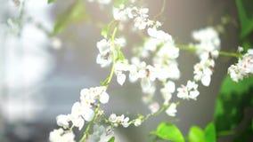 Flores blancas del cerezo en primavera almacen de video