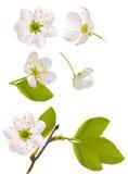 Flores blancas del cerezo fijadas Imagen de archivo libre de regalías