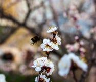 Flores blancas del cerezo y del abejorro Fotografía de archivo libre de regalías