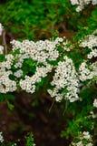 Flores blancas del cierre del spirea para arriba foto de archivo