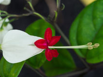 Flores blancas del corazón sangrante Foto de archivo