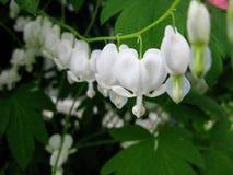 Flores blancas del corazón sangrante en una línea Imagen de archivo libre de regalías